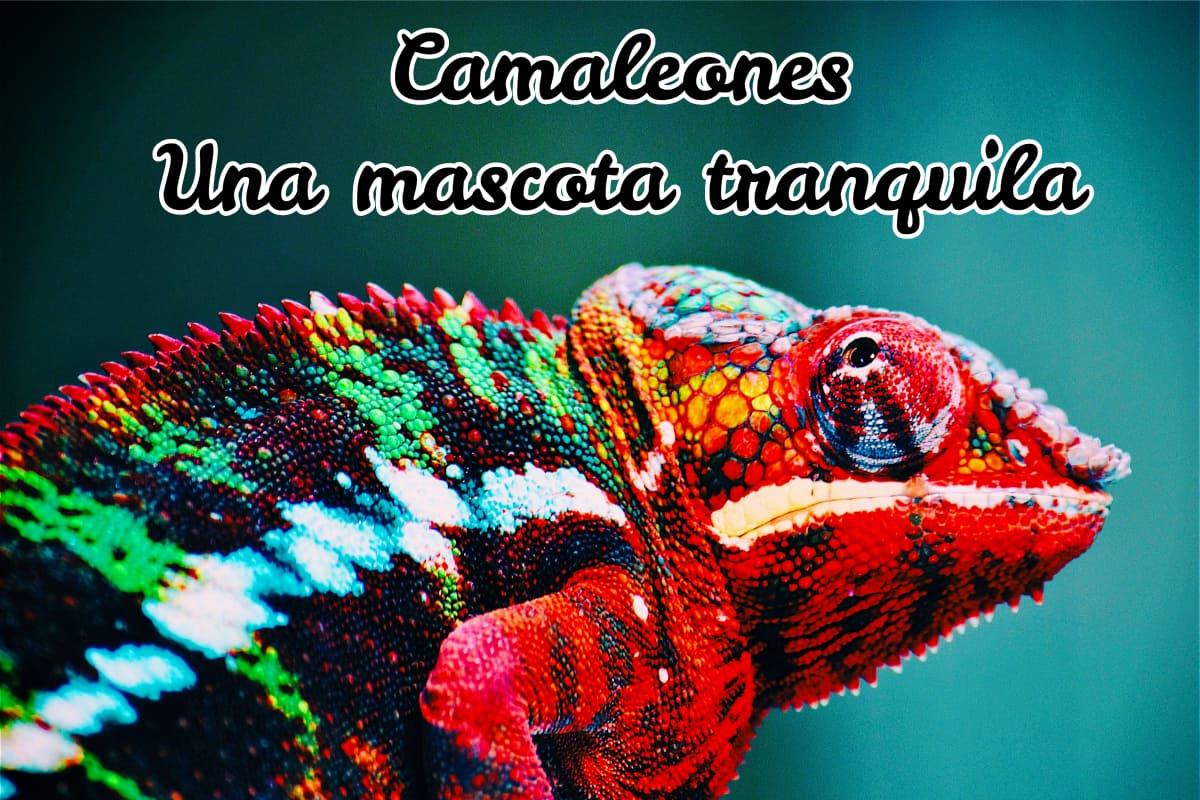 camaleón multicolor, una mascota tranquila