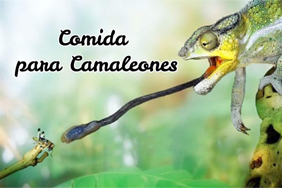 Camaleon de color verde comiendo un insecto en la naturaleza (comida para camaleones)