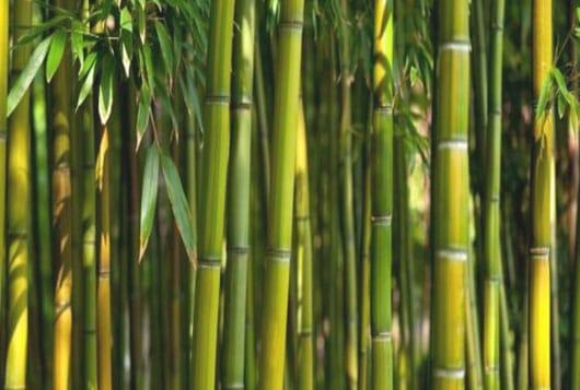 cañas de bambú son fáciles de cultivar